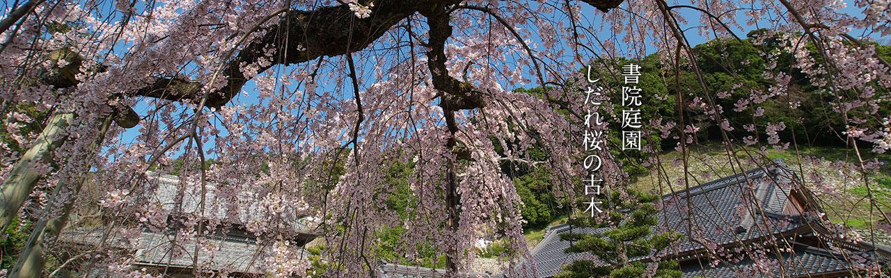 書院庭園のしだれ桜