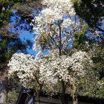 写真:白木蓮 満開です!