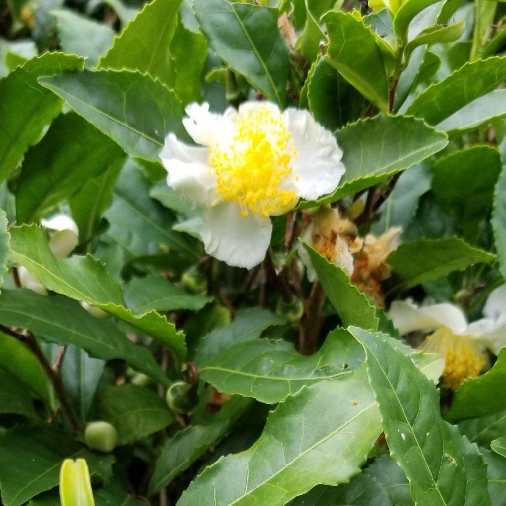 一畑薬師のお茶の花